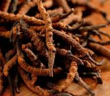 Cordyceps Extract Polysaccharides for Foods and Supplement