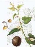 Momordica Grosvenori Extract 10%-80% Mogroside V