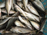 New Fish Horse Mackerel (14-18cm)