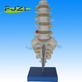 Lumbar Vertebrae Model with a Tail for School