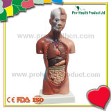 Human Main Organ Torso Detachable Installable Scale Anatomical Educational Model