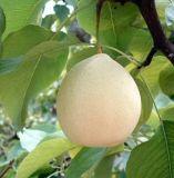 China Fresh Pear Fruit Sydney Sweet