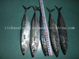 New Fresh Chub Mackerel Frozen Fish