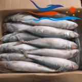 Customize Frozen North Pacific Mackerel (PM009)
