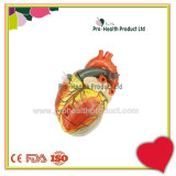 Human 3 Times Enlarge 4 Parts 3D Heart Model