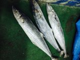 Best Quality Seafood Frozen Round Whole Spanish Mackerel