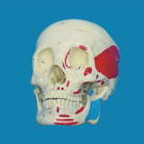 China Factory Wholesale Human Skull Muscle Labeled Skeleton Model
