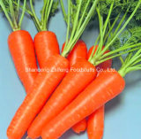 Chinese Fresh Carrot in High Quality