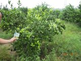 Unigrow Bio Organic Fertilizer Used on Citrus Planting