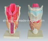 Xy-3305-1 Human Larynx (anatomical model)