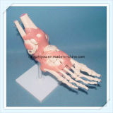 Vivid Human Foot Joint Skeleton Model with Ligaments