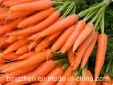 2017 Year′s New Crop of China. Fresh Carrots