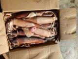 Frozen Japanese Flying Squid for Bait