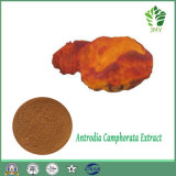 Top Quality Antrodia Cinnamomea Extract Supplier 30% Polysaccharide; 6% Triterpene