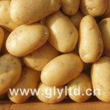 Exported Quality of Fresh Holand Potato