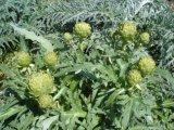 Artichoke P. E.../ Artichoke Extract Powder /Cynara Scolymus P. E.