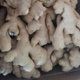 Golden Supplier of Fresh Air Dry Ginger
