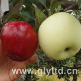 Good Quality Carton Packing Fresh Apple