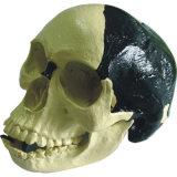 Medical Anatomic Model Bill Toledo Human Skull