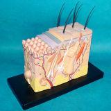 Enlarged Skin Anatomic Medical Model for Teaching (R160107)