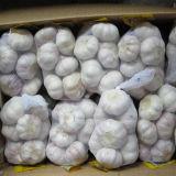 New Fresh Garlic with Bag, Carton Packing