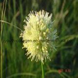 Seabuckthorn Flower Pollen Tablets