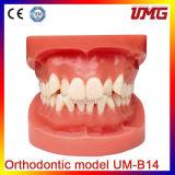 Dental Products Orthodontic Teaching Models Dental Orthodontic Model