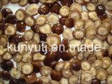 Canned Shiitake Mushroom with High Quality