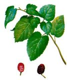 Mulberry Leaf Extract 1-Dnj 30%
