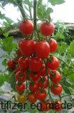 Tomato Planting with Unigrow Bio Organic Fertilizer