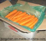 Fresh Carrot New Crop Harvest