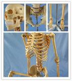 Science Education 170cm Human Skeleton Anatomical Plastic Model