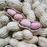 New Crop Peanut in Shell From China