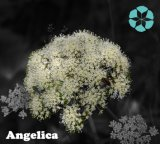 Angelica Extract / Sinensis (Oliv.) Diels / Polysaccharides