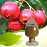 Chinese Hawthorn Berry Leaf Extract Powder 5% Flavone