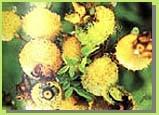 Rosa Roxburghii Extract