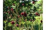 Herb Sanguisorba Officinalis Extract Powder Saponins 20%
