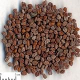 Fenugreek Seed Extract, Fenugreek Saponins 50%, Furostanol Saponins 50%