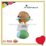 7 Cervical Vertebrae 8 Parts Brain And Skull 3D Model