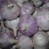 New Arrival Shandong Normal White Garlic