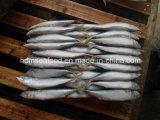 Frozen Mackerel for Tuna Bait (Scomber japonicus)