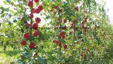 Fiberglass Plant Stakes Nursery Stake FRP Pole/Rod
