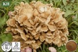 Blood Pressure Management Maitake Mushroom Extract 30% Polysaccharides