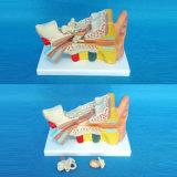 Medical Demonstration Anatomy Human Ear Model (R070104)