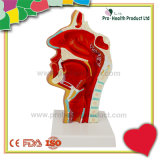 ENT Oral Nasal Cavity Throat Anatomical Medical Pathology Model