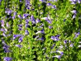 Scutellaria Baicalensis Extract Baicalin, Baicalein, Wogonin, Pharmaceutical Grade