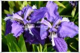 Manufacturer Natural Iris/ Iris Tectorum Maxim 10: 1 Extract Powder
