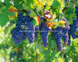Resveratrol 5% Grape Skin Extract