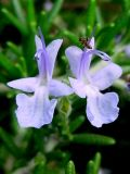 High Quality Rosemary Extract Powder Carnosic Acid
