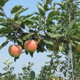 2016 New Crop Good Quality Fresh Red Gala Apple